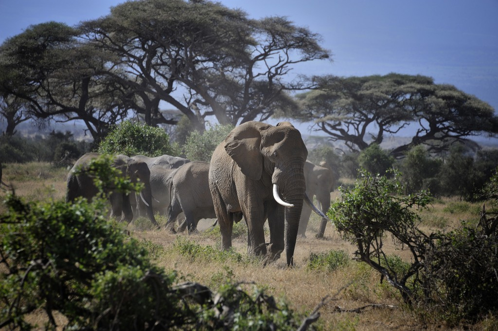 Elephants in Amboseli National Park, Kenya, East Africa / Diana Robinson